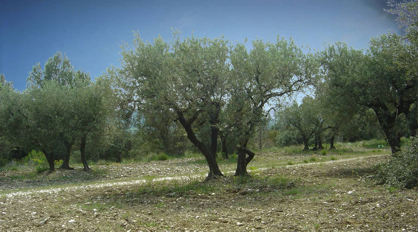 Producteur AOP Huile d'olive pays d'aix